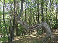 Дърво Карандила.jpg
