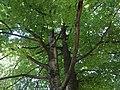 Европска буква на Калемегдану, Београд, споменик природе, 003.JPG