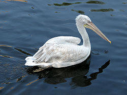 Кудрявый пеликан — Википедия