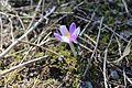 Перші квіти в Колочаві.jpg