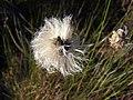 Пухівка піхвова (Eriophorum vaginatum) в заказнику Полігон.jpg