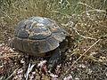 Средиземноморская черепаха - Testudo graeca - Greek tortoise - Шипобедрена костенурка - Maurische Landschildkröte (18723481142).jpg