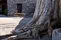 גזע עץ בחצר כנרת.jpg