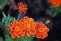 ดาวเรืองฝรั่งเศส ( French Marigolds ) (3).jpg