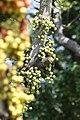 มะเดื่ออุทุมพร Ficus racemosa L (7).jpg