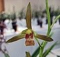 報歲金絲雀 Cymbidium sinense 'Canary' -香港沙田國蘭展 Shatin Orchid Show, Hong Kong- (12284710274).jpg