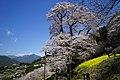 大藪のひがん桜(ひょうたん桜) - panoramio (2).jpg