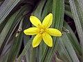 小金梅草屬 Hypoxis villosa -比利時國家植物園 Belgium National Botanic Garden- (9216070088).jpg