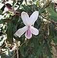 山殼骨屬 Pseuderanthemum longifolium -比利時國家植物園 Belgium National Botanic Garden- (9227007151).jpg