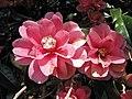 山茶花-半重瓣 Camellia japonica Semi-double Form -日本京都植物園 Kyoto Botanical Garden, Japan- (39787220120).jpg