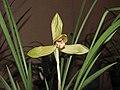 春蘭金荷鼎 Cymbidium goeringii -香港沙田國蘭展 Shatin Orchid Show, Hong Kong- (12317106364).jpg
