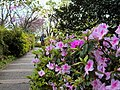 杜鵑 Azaleas - panoramio.jpg