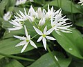 熊蔥 Allium ursinum -瑞士 Lucerne, Switzerland- (9227116085).jpg
