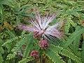 細葉粉撲花 Calliandra selloi (Calliandra brevipes) -英格蘭 Wisley Gardens, England- (9204848597).jpg