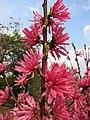 菊花桃 Prunus persica 'Chrysanthemoides' -上海植物園 Shanghai Botanical Garden- (17340133176).jpg