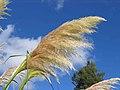 蒲葦(銀蘆) Cortaderia selloana -英格蘭 Brockhole, England- (9213356093).jpg