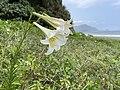觀音海岸野生動物重要棲息環境 宜蘭縣南澳鄉神秘海灘上的台灣百合 IMG 9474.jpg