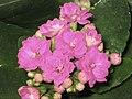 長壽花-重瓣 Kalanchoe blossfeldiana -香港花展 Hong Kong Flower Show- (9190646489).jpg