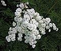 長葉蚊子草-重瓣 Filipendula vulgaris 'Flore Plena' -波蘭 Krakow Jagiellonian University Botanic Garden, Poland- (35924537233).jpg