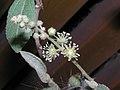 雞骨香 Croton crassifolius -香港西貢獅子會自然教育中心 Saikung, Hong Kong- (9237503209).jpg