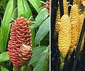 004 cone gingers.jpg