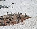 00 1206 Breeding colony of Gentoo Penguins.jpg