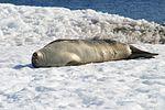 00 122 2204 Weddelrobbe Antarktis.jpg