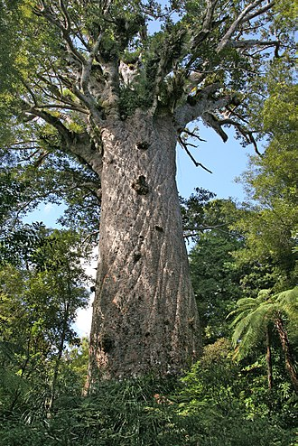 "Araucariaceae - Tāne Mahuta (""Lord of the Forest""), a massive Agathis australis tree from New Zealand"