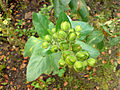 01740 - Nicotiana rustica (Virginischer Tabak).JPG