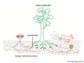 03 02 10 c 5a ectomicorrizas en su hábitat, Boletales Basidiomycota (M. Piepenbring).png