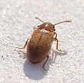 03 04 09 b (2) Coleoptera (3419496777).jpg