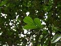 1-Murraya paniculata 01.JPG
