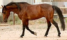 A bay horse walking, with a fence and metal building in the background.