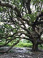 110 years ancient mango tree of Gopalganj, Bangladesh.jpg