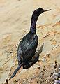 142 pelagic cormorant swingle odfw (7639239176).jpg