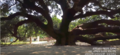 150 years old and the biggest mango tree in asia situated at Thakurgaon in bangladesh.png
