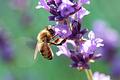 200x133px-Biene auf lavendel.png