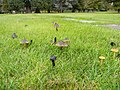 2011-10-31 Hygrocybe conica (Schaeff.) P. Kumm 178717.jpg