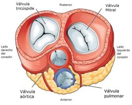 Tras retirar las aurículas y las más importantes arterias, son claramente visibles las cuatro válvulas del corazón.