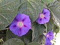 2014-09-26 08 18 34 Morning Glory blossoms on Southside Drive in Elko, Nevada.JPG