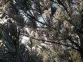 2014-12-18 08 57 32 Rime on pine boughs after freezing fog in Elko, Nevada.JPG