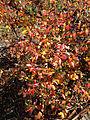 2014-12-26 11 23 07 Foliage of Azalea cultivar 'Rosebud' during early winter along Terrace Boulevard in Ewing, New Jersey.JPG