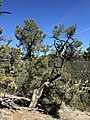 2015-04-28 10 43 34 An older Single-leaf Pinyon in South Fork Maverick Canyon, Nevada.jpg