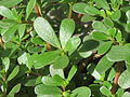 20150727Portulaca oleracea1.jpg
