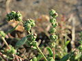 20150913Chenopodium album2.jpg