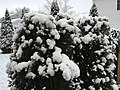 2016-03-04 07 31 31 American Arbovitae coated in a light wet snowfall along Tranquility Court in the Franklin Farm section of Oak Hill, Fairfax County, Virginia.jpg