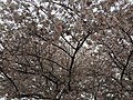2017-04-03 15 40 14 White Flowering Cherry flowers along Scotsmore Way near Caroline Court in the Chantilly Highlands section of Oak Hill, Fairfax County, Virginia.jpg