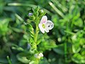 20171018Veronica serpyllifolia5.jpg