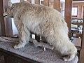 2018-02-24 (130) Taxidermied bear at Bäreneck at Gemeindealpe.jpg