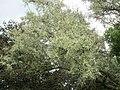 20180522Elaeagnus angustifolia2.jpg